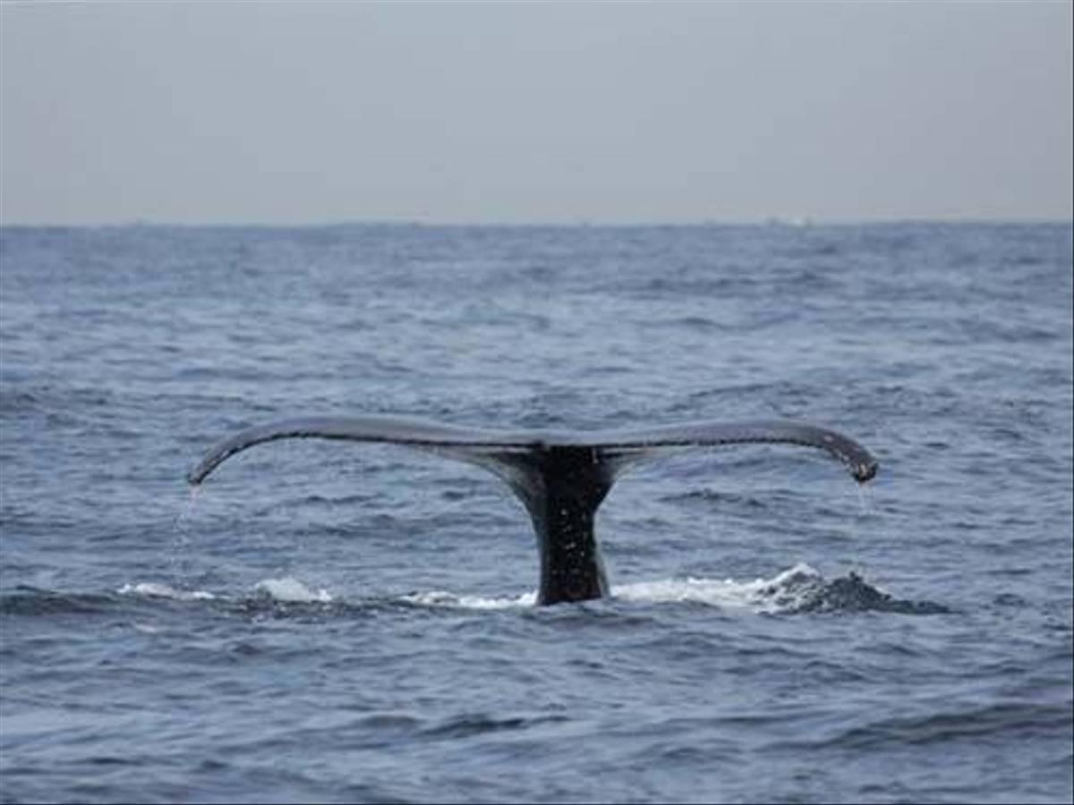 Humpback Whale fluke (Susan Jenkins)