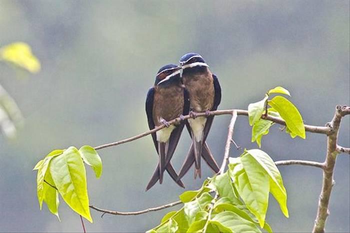 Pair of Whiskered Tree Swift (Dani Free)