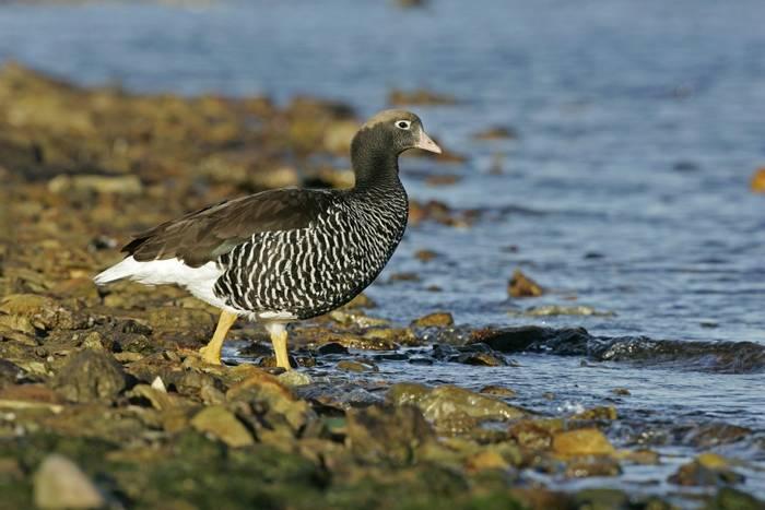 Kelp Goose Falklands. shutterstock_168795803.jpg