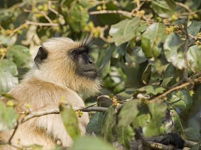 Common Langur (Paul Marshall)