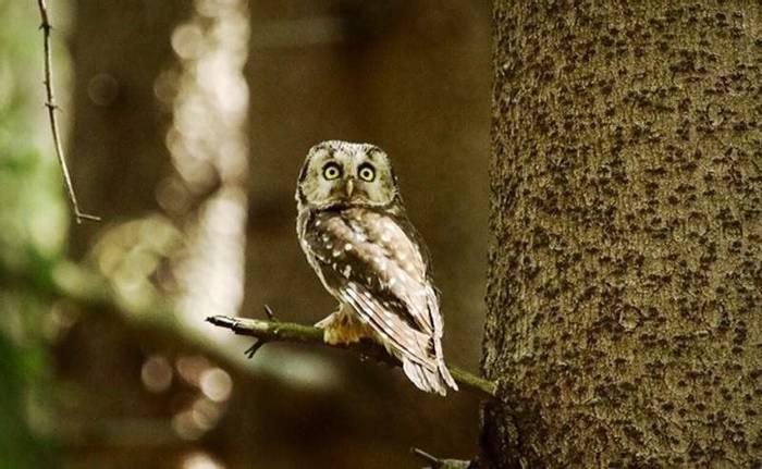 Tengmalm's Owl (Mark Elliot)