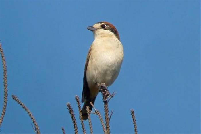 Woodchat Shrike (Byron Palacios)