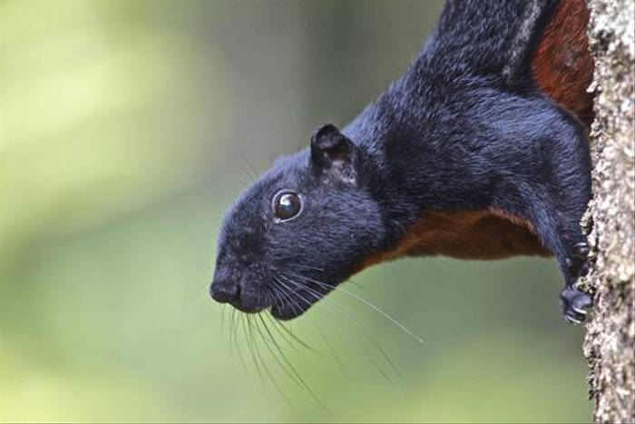 Prevost's Squirrel (Dani Free)