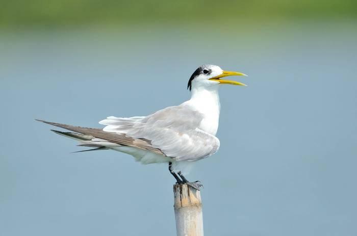 Black-bellied Tern