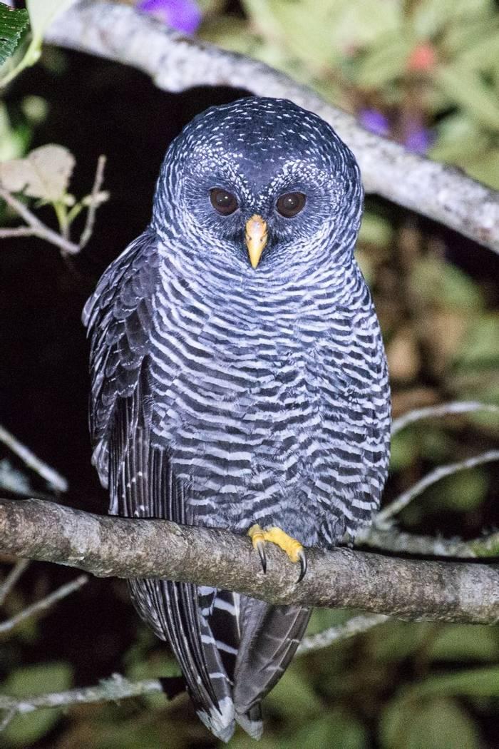 San Isidro Owl (Juan Palmero)