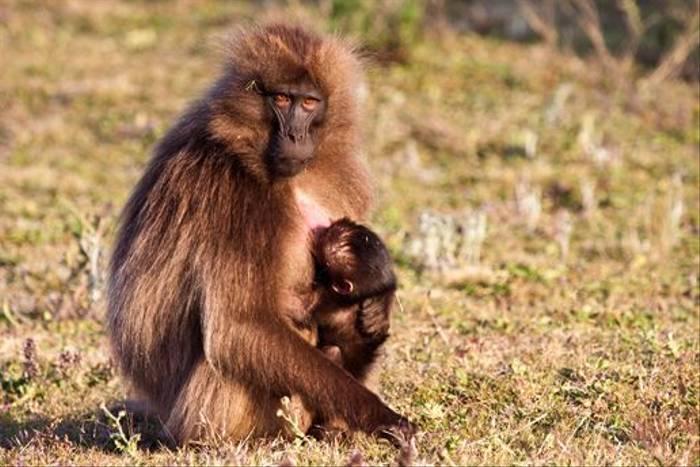 Gelada Baboon with baby (Dani Free)