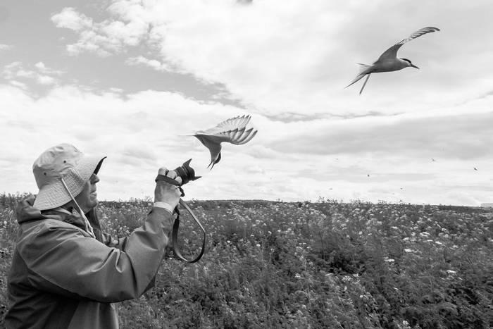 Artic Terns (Susan Dillon).jpg