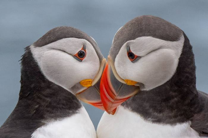 Puffins (Lindsey Smith).jpg