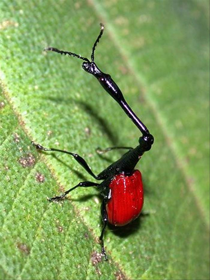 Giraffe-necked Weevil (Paul Stanbury)