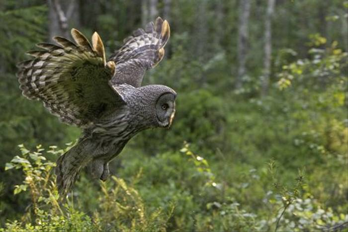 Great Grey Owl (Jari Peltomaki)