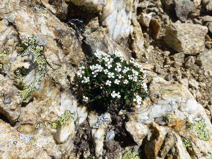 Cardamine resedifolia (Mignonette-leaved Bittercress) (Kerrie Porteous)