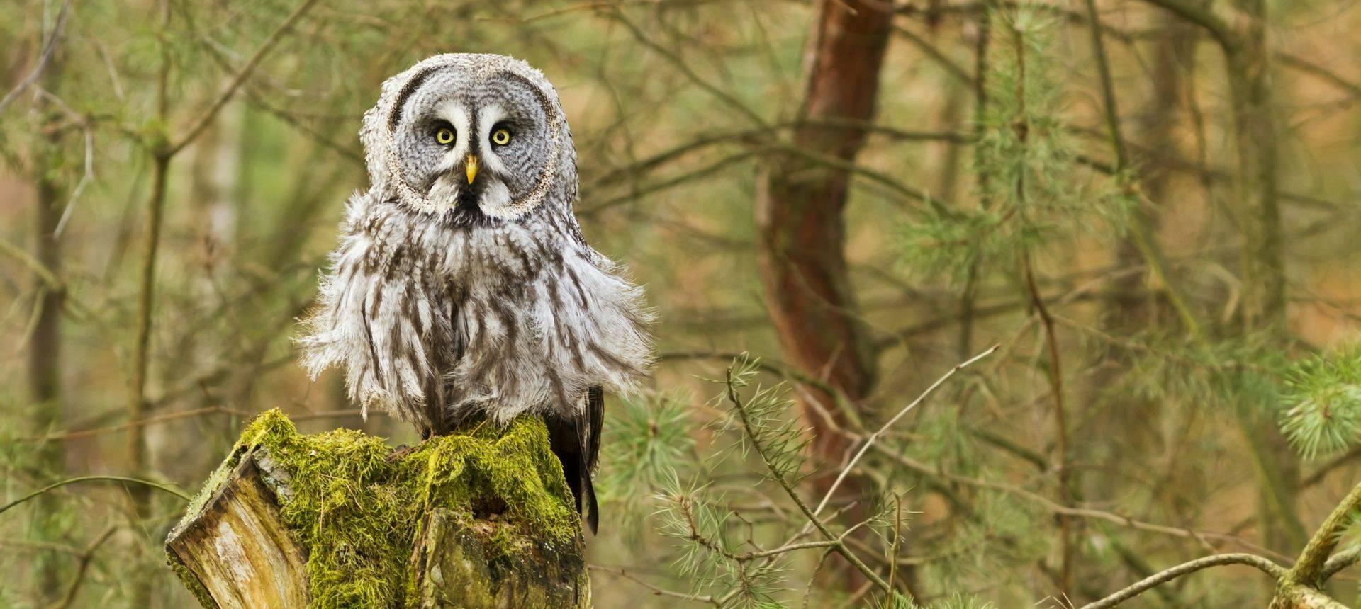 Great Grey Owl Shutterstock 76186777