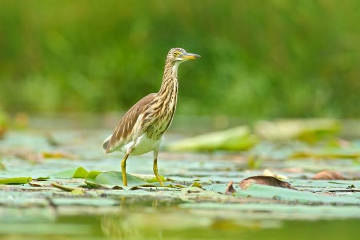 Indian Pond Heron, India & Sri Lanka shutterstock_580722439.jpg