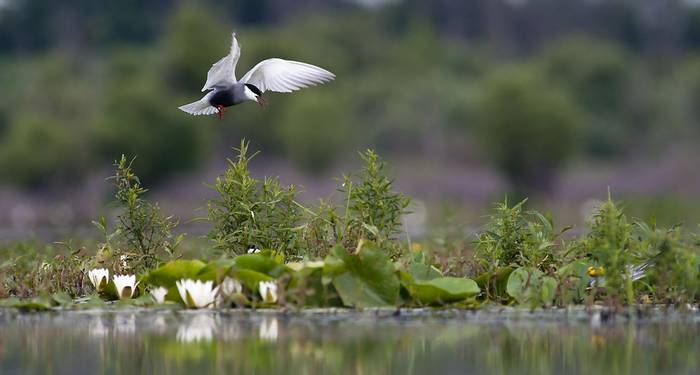 Whiskered tern (Peter molnar)