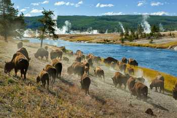 Bison, Yellowstone, USA Shutterstock 47311708