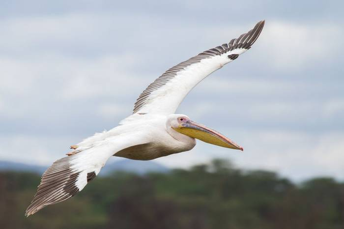 Great White Pelican (Colin Brown)