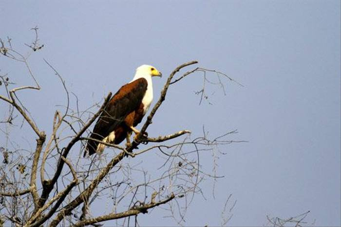 African Fish Eagle (Bret Charman)