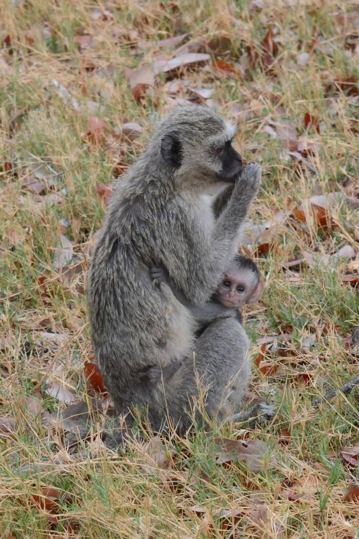 Vervet Monkey (Rob Thatcher)