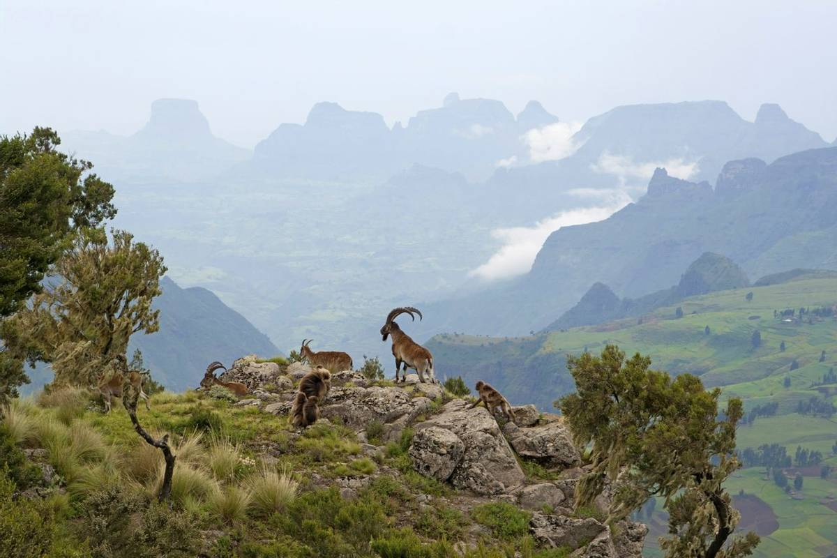 Ethiopia (Walia Ibex And Geladas)
