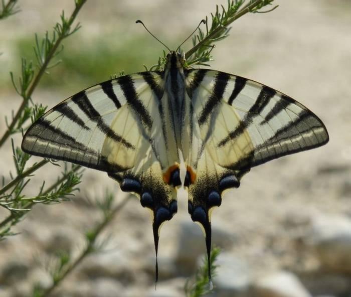 Scarce Swallowtail (Kiff Hancock)