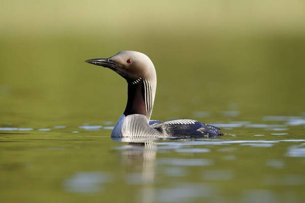 Black Throated Diver. Shutterstock 107733887
