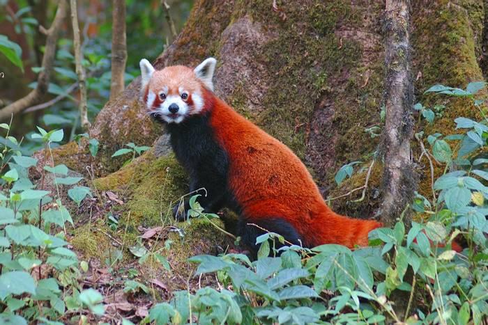 Red-Panda,-Singalila-National-Park,-India-shutterstock_687411847.jpg
