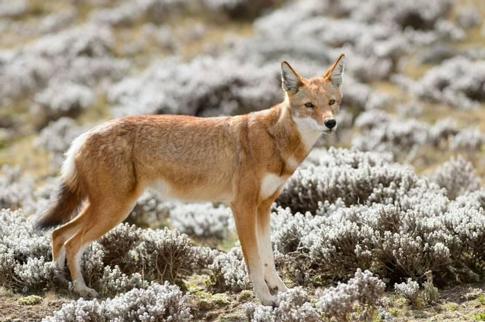 Ethiopian Wolf Shutterstock 406854463