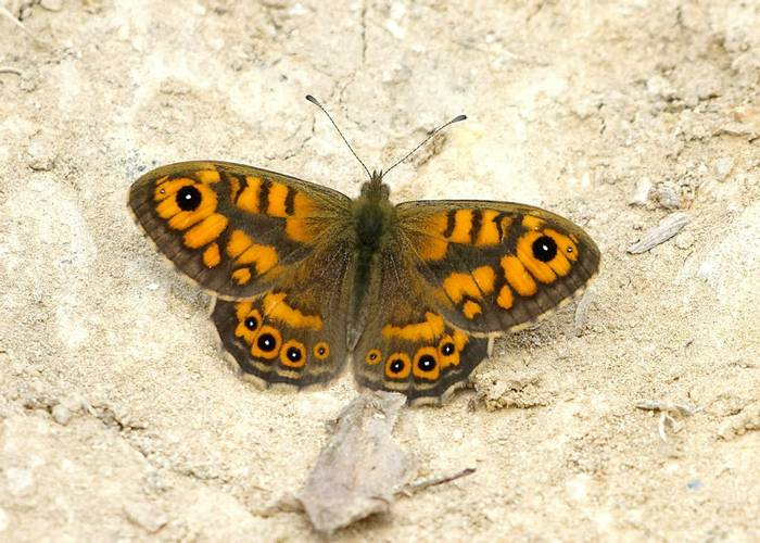 Wall Brown, Jersey