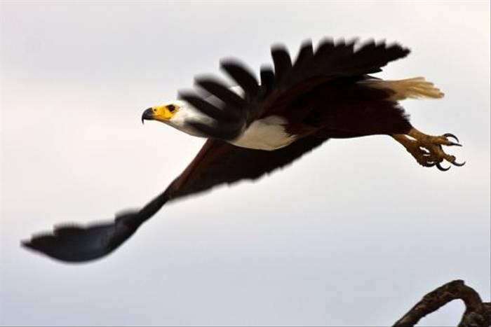 African Fish Eagle (Dani Free)