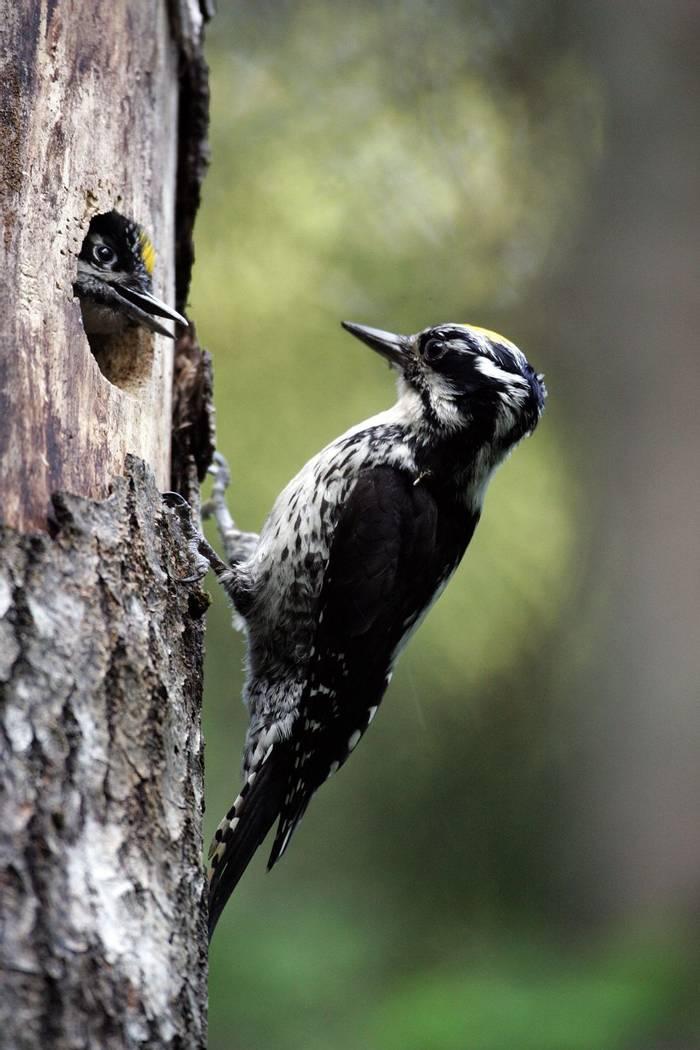 Three-toed Woodpeckers (Mati Kose)