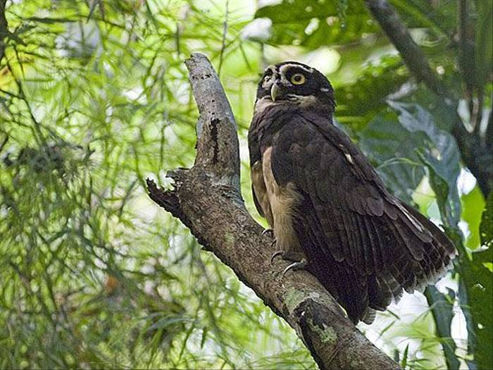 Spectacled Owl (David Tipling)