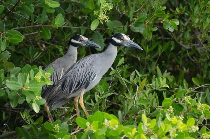 Yellow-crowned Night Herons, Florida, USA shutterstock_446364007.jpg