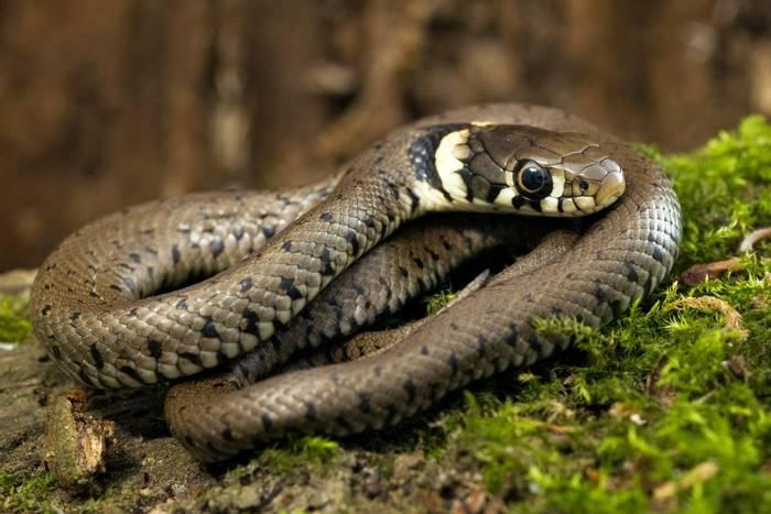 Grass-Snake-shutterstock_33492697.jpg