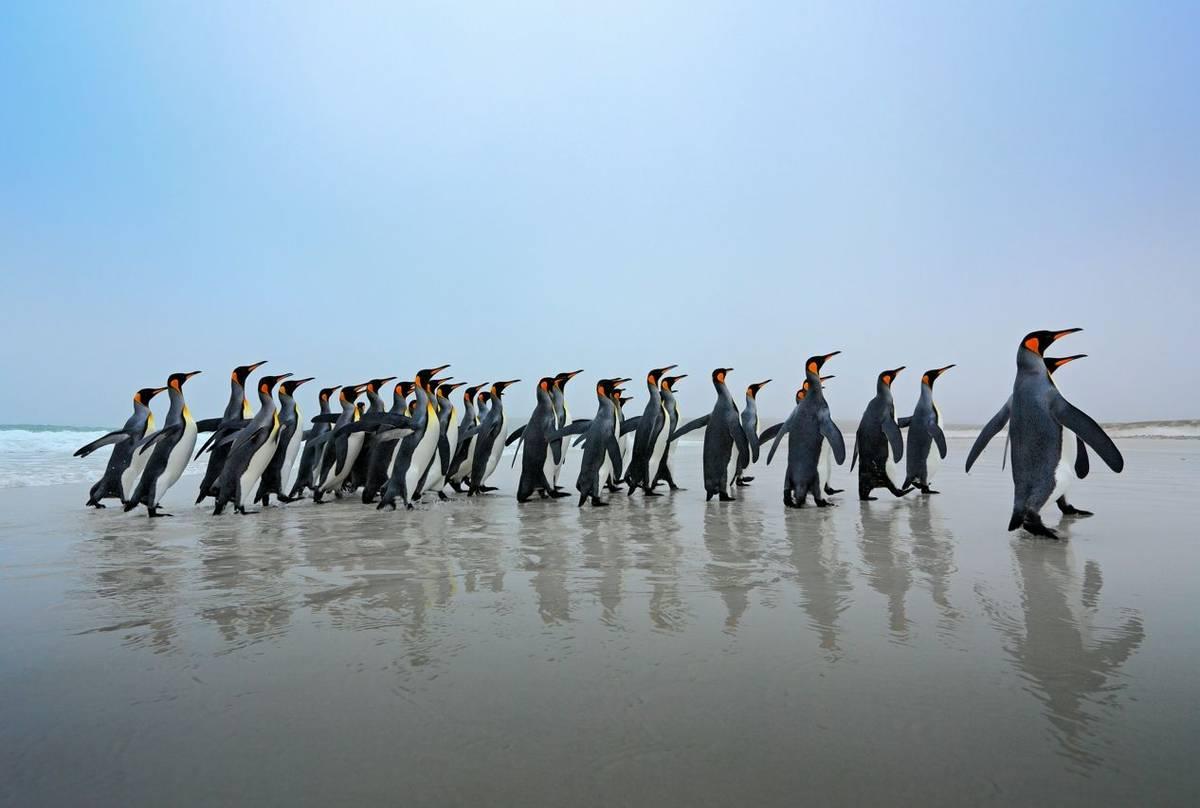 King Penguins Shutterstock 359294930