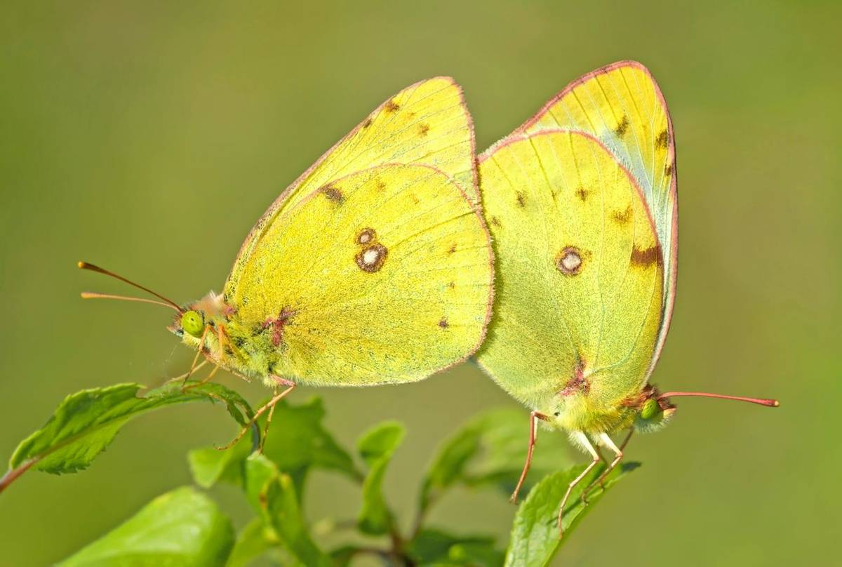 Clouded Yellows