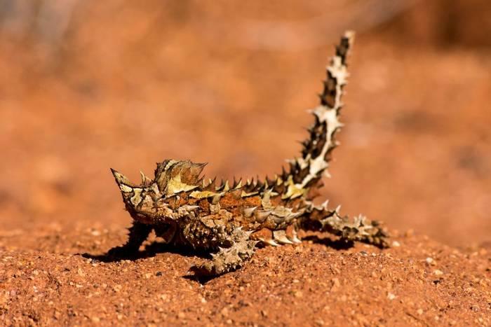 Thorny Devil (Australia) shutterstock_1018998451.jpg