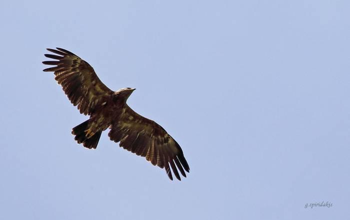 Lesser Spotted Eagle (Georgos Spiridakis)