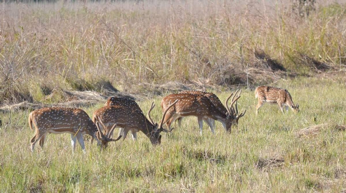 Roe Deer (Margaret Dale)