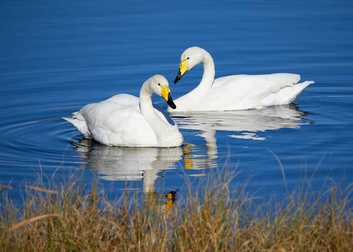 Whooper Swans shutterstock_593244143.jpg