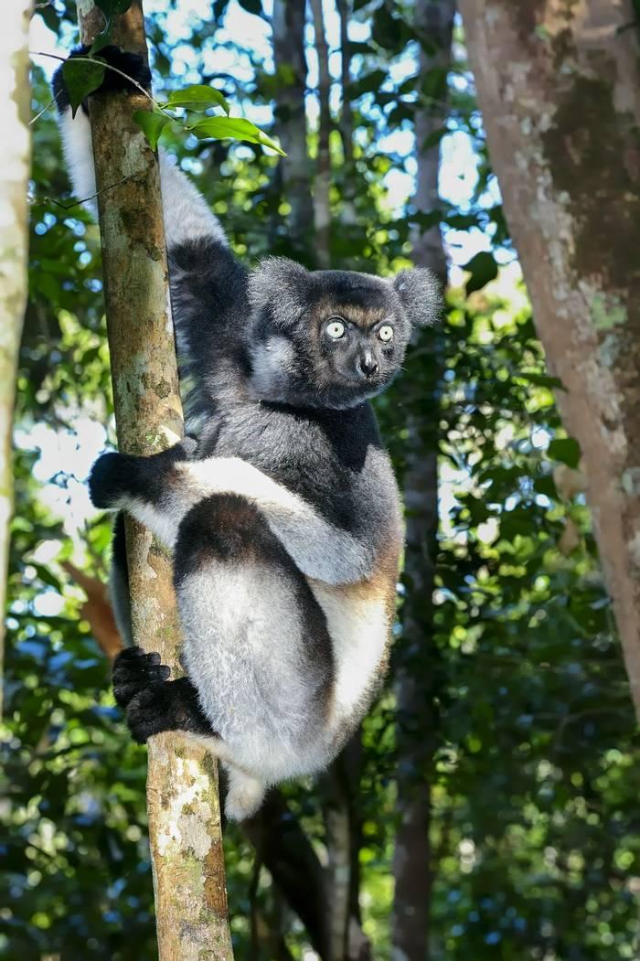 Indri, Madagascar. shutterstock_112857337.jpg