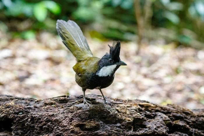 Eastern Whipbird, Australia shutterstock_696354466.jpg