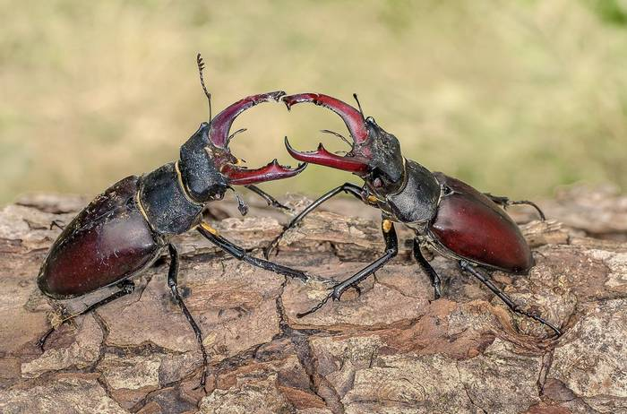Stag Beetles (Ann Miles)