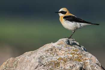 Go Slow S Spain Black Eared Wheatear Shutterstock 1098854099