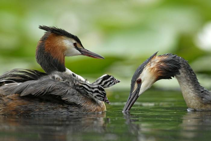 Great Crested Grebe (Christine Tomasson)