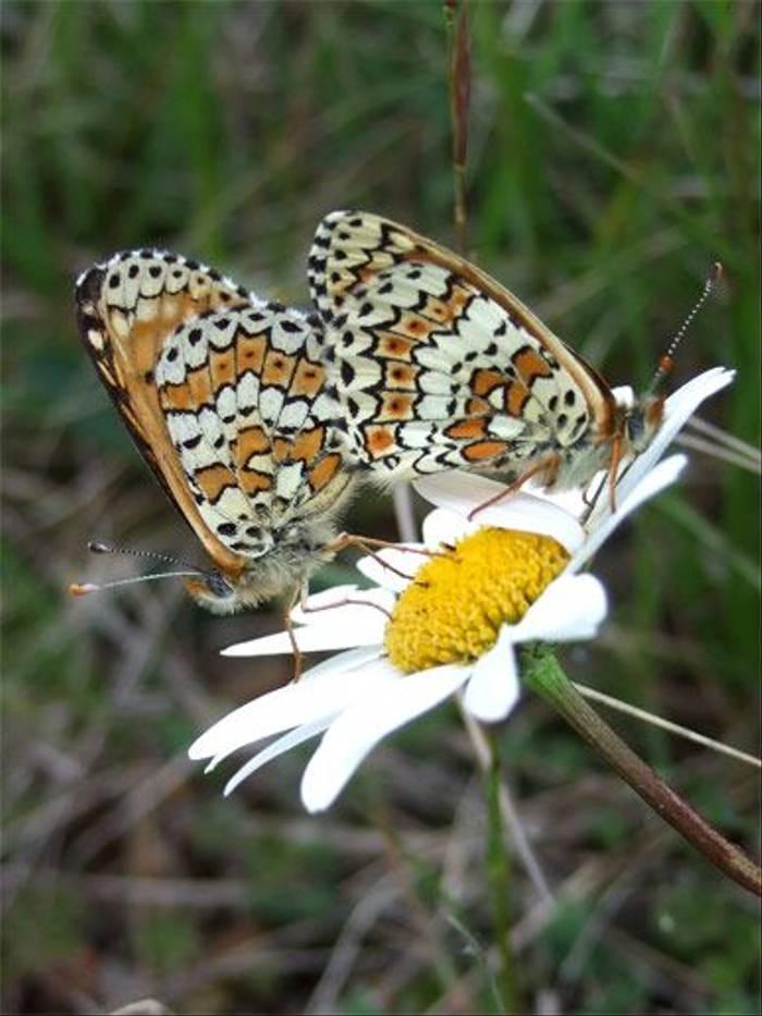 Glanville Fritillary butterflies (John and Jenny Willsher)