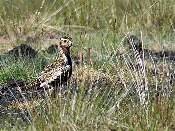 Golden Plover (Paul Stanbury)