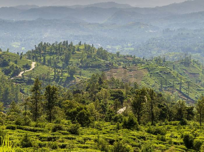 Tea Fields At Nuwara Eliya (John Archer Thomson)