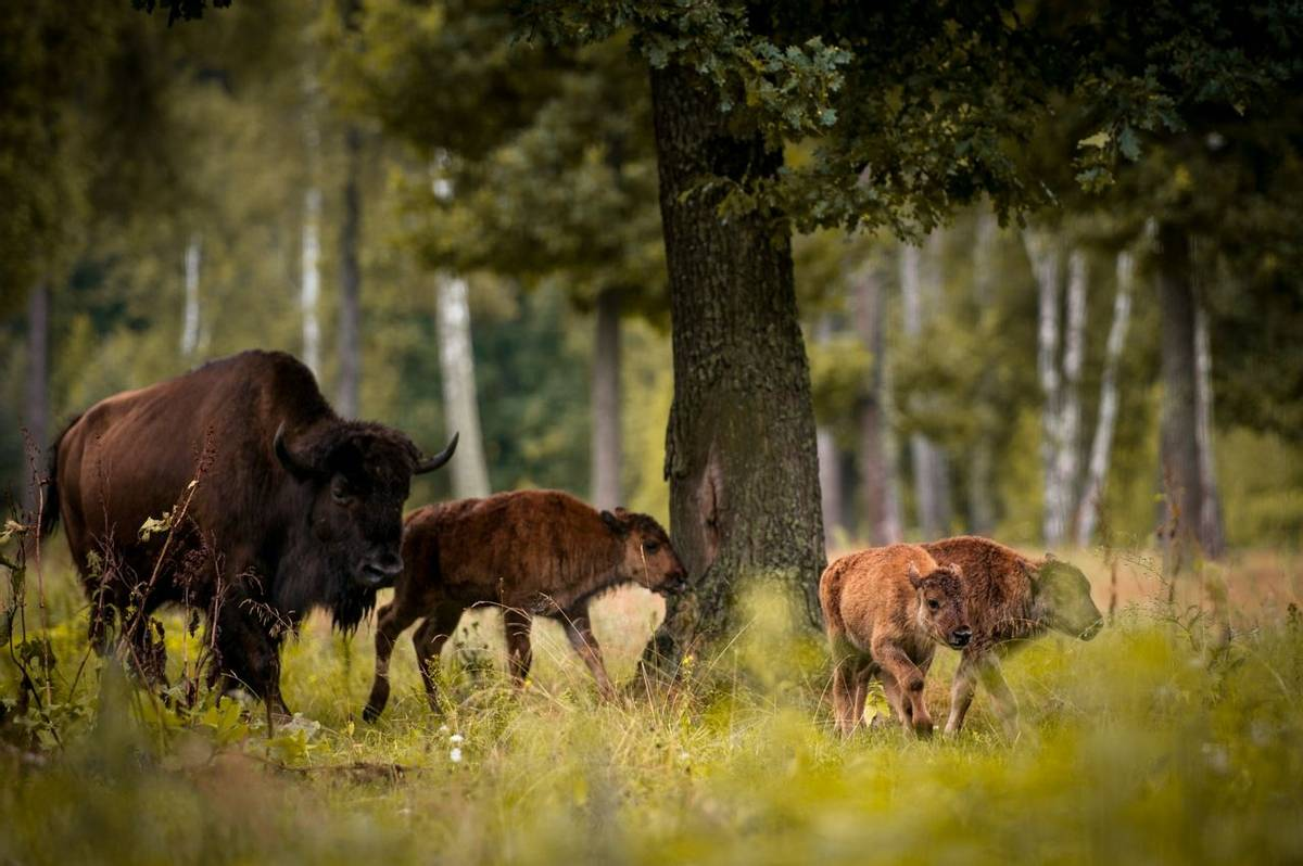 European Bison, Bialowieza Forest, Poland.