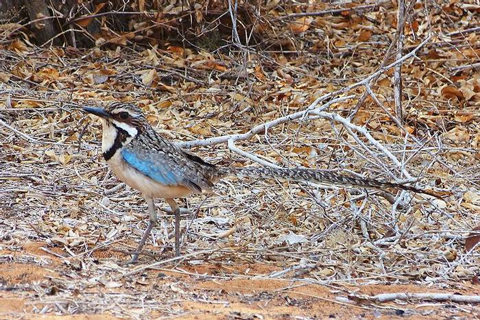 Long-tailed Ground Roller (Tony Williams)