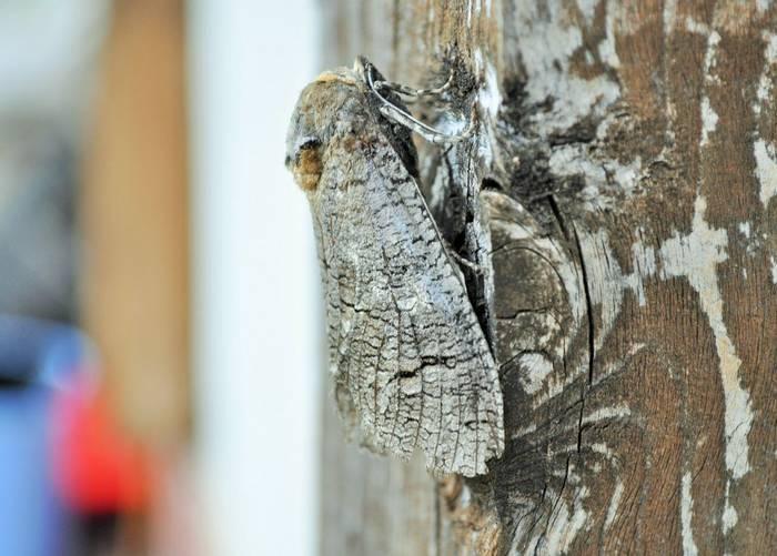 Goat Moth, Gerard Gorman
